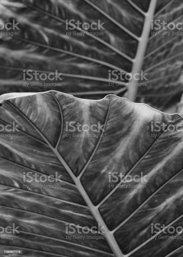 monochrome large abstract striped leaf tropical abstract nature...