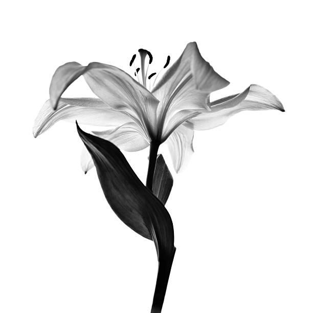 monochrome lily stock photo