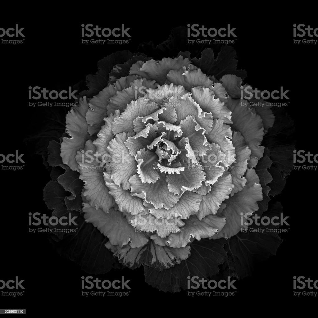 Monochrome ornamental kale cabbage stock photo