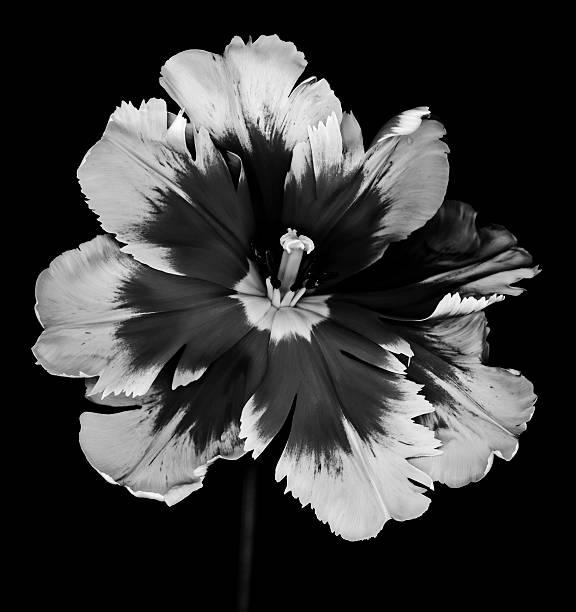 Monochrome Parrot Tulip isolated on black stock photo