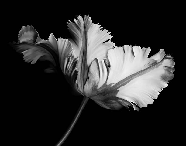 Monochrome parrot tulip with contrasting shades on black background -XXXL stock photo