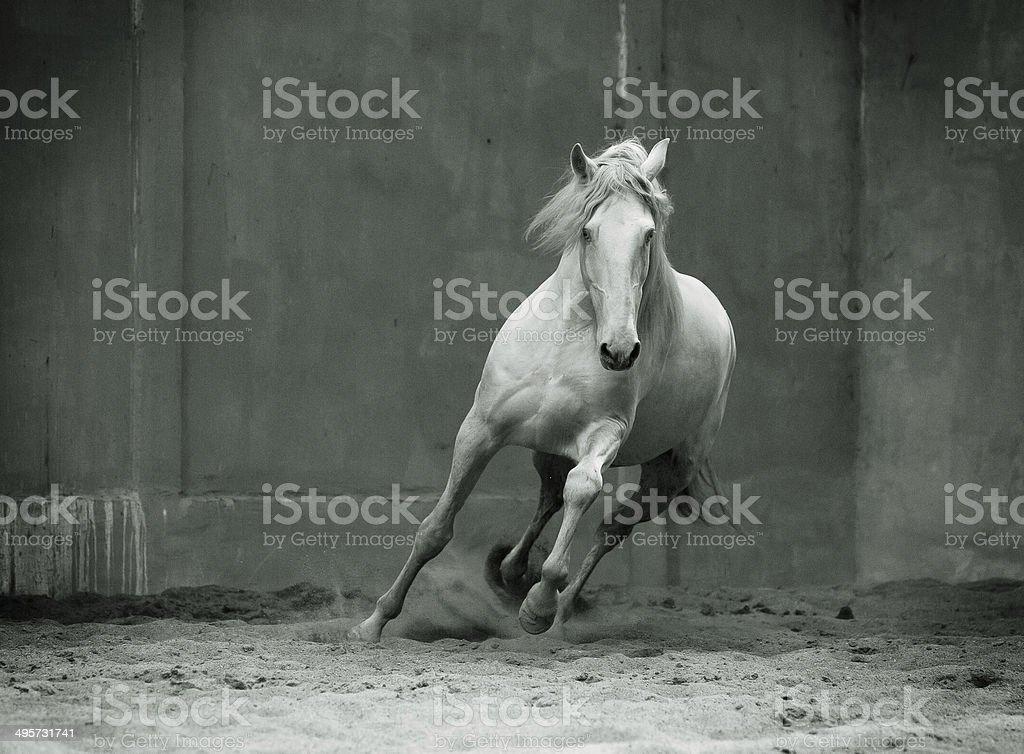 monochrome photo running lusitano horse with streamed mane on stock photo