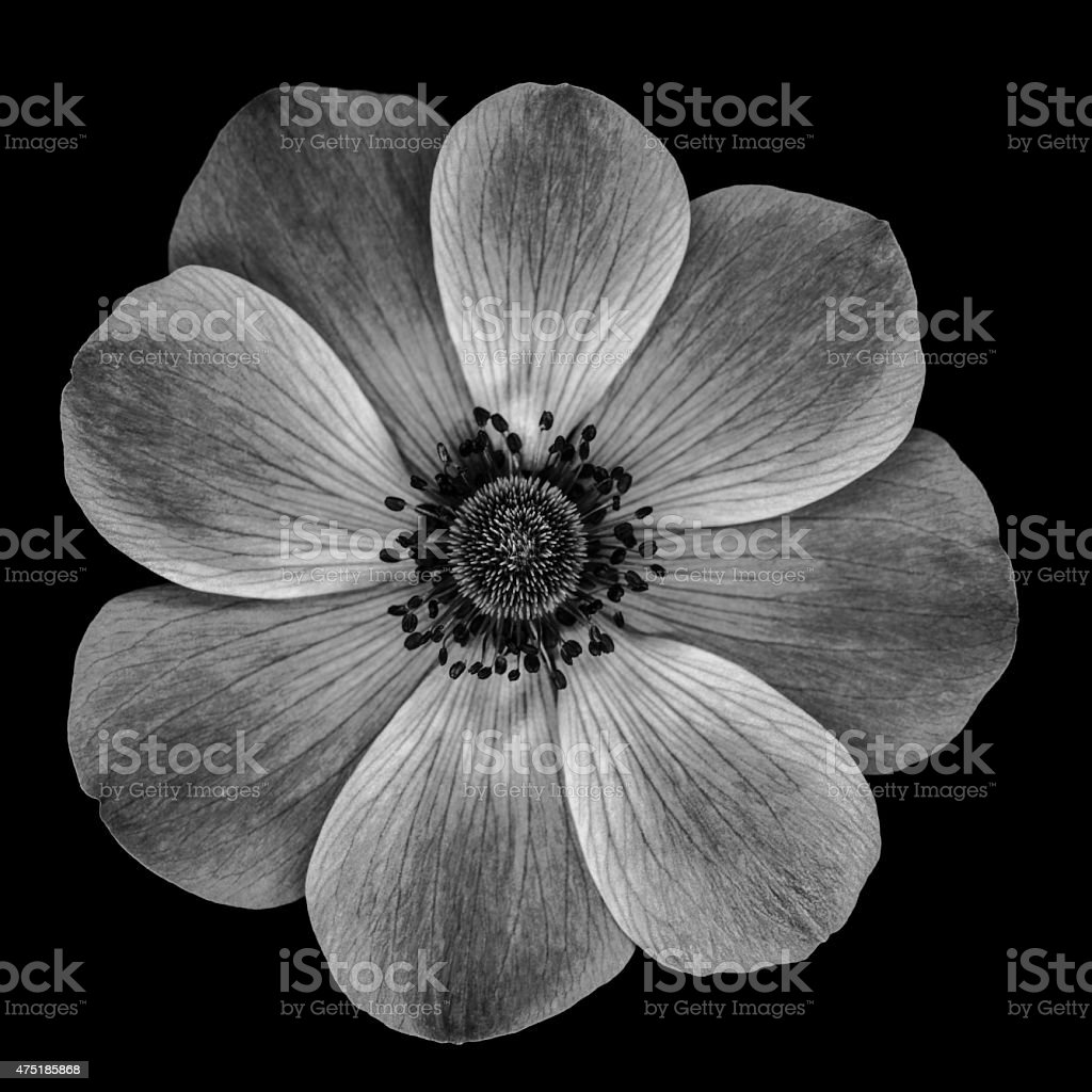 XXXL: Monochrome poppy flower isolated on a black background stock photo