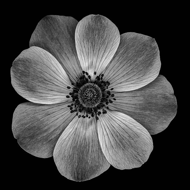 Xxxl monochrome poppy flower isolated on a black background stock photo