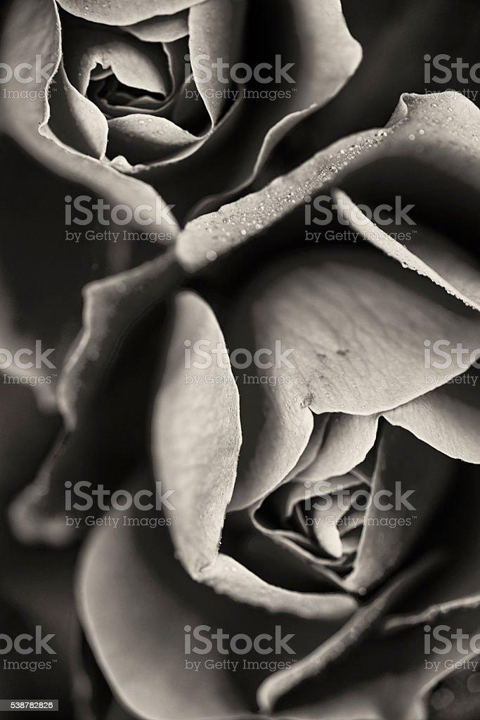 Monochrome Rose Deborah stock photo