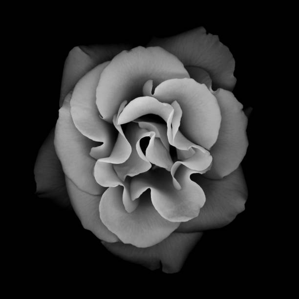 Monochrome rose isolated against a black background stock photo