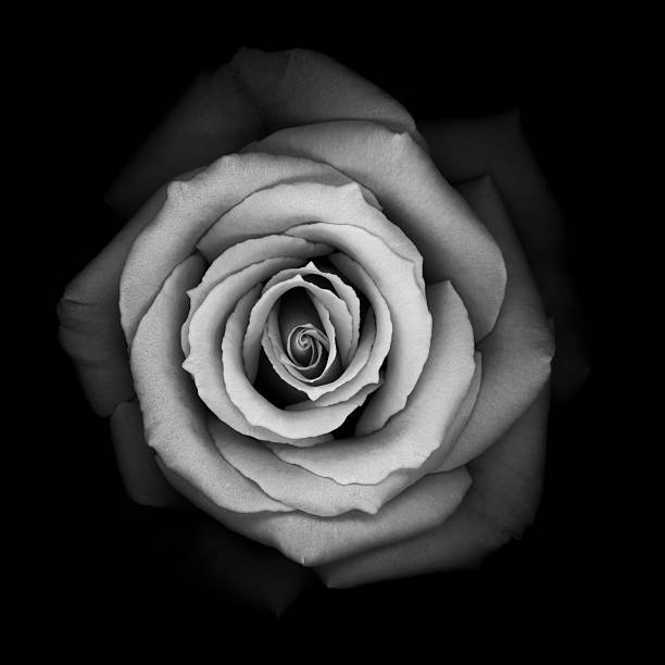 Monochrome rose stock photo