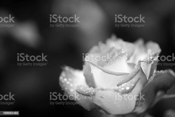Monochrome rose with dew drops picture id169993465?b=1&k=6&m=169993465&s=612x612&h=t4him1v4nuoihcffvnm4tulj58nr re9vvxxdhp81ks=