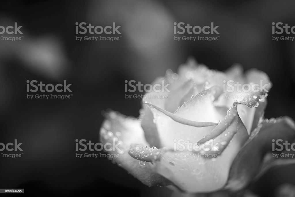 Monochrome rose with dew drops stock photo