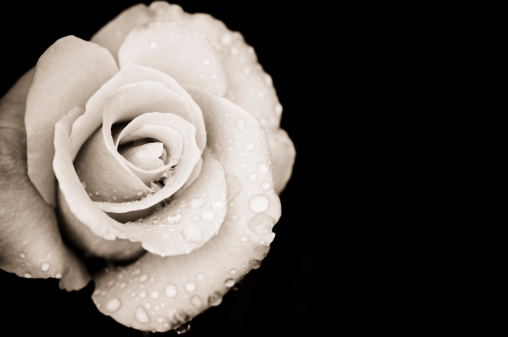 Monochrome rose with rain drops
