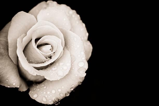 Monochrome rose with rain drops stock photo