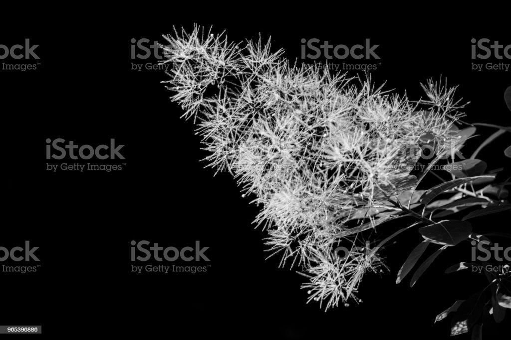 Monochrome smoke tree plant detail royalty-free stock photo
