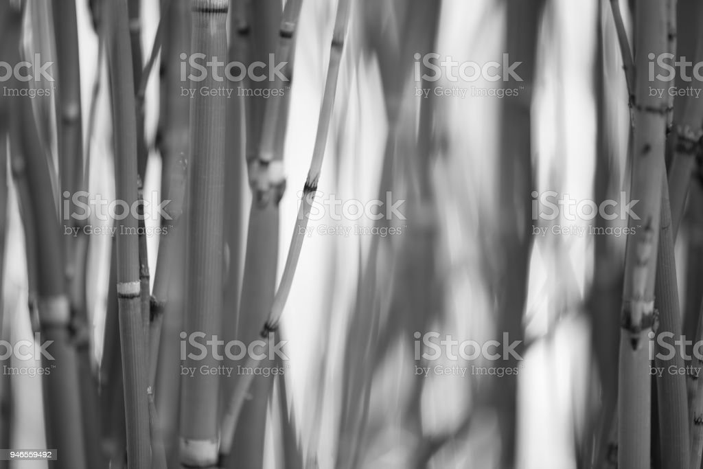 Monochrome Stalks 6 stock photo