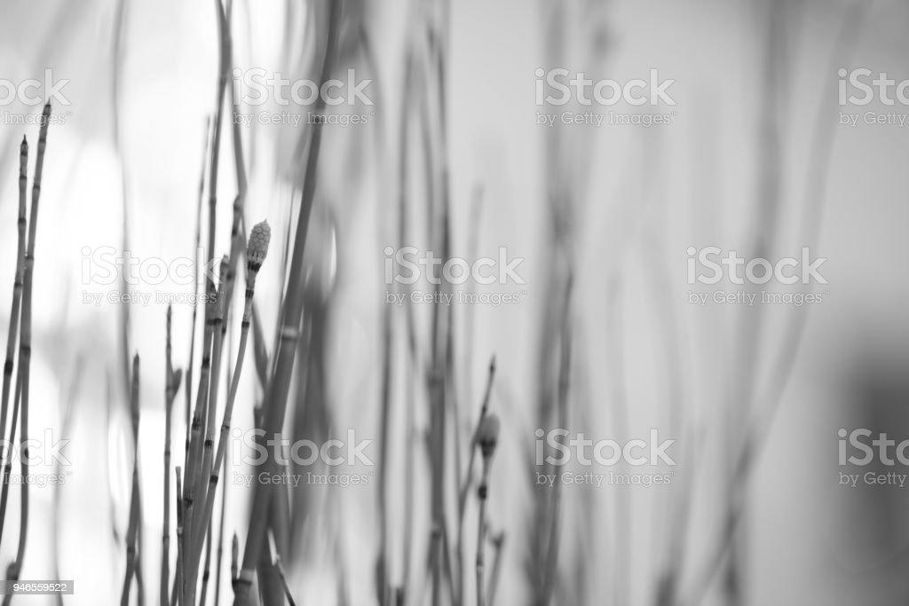 Monochrome Stalks 8 stock photo