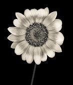 istock Monochrome sunflower isolated on black 163959431