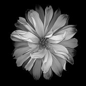 Monochrome white dahlia with dark edged petals isolated against a black background