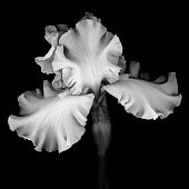 A monochrome white bearded Iris solated against a black background.