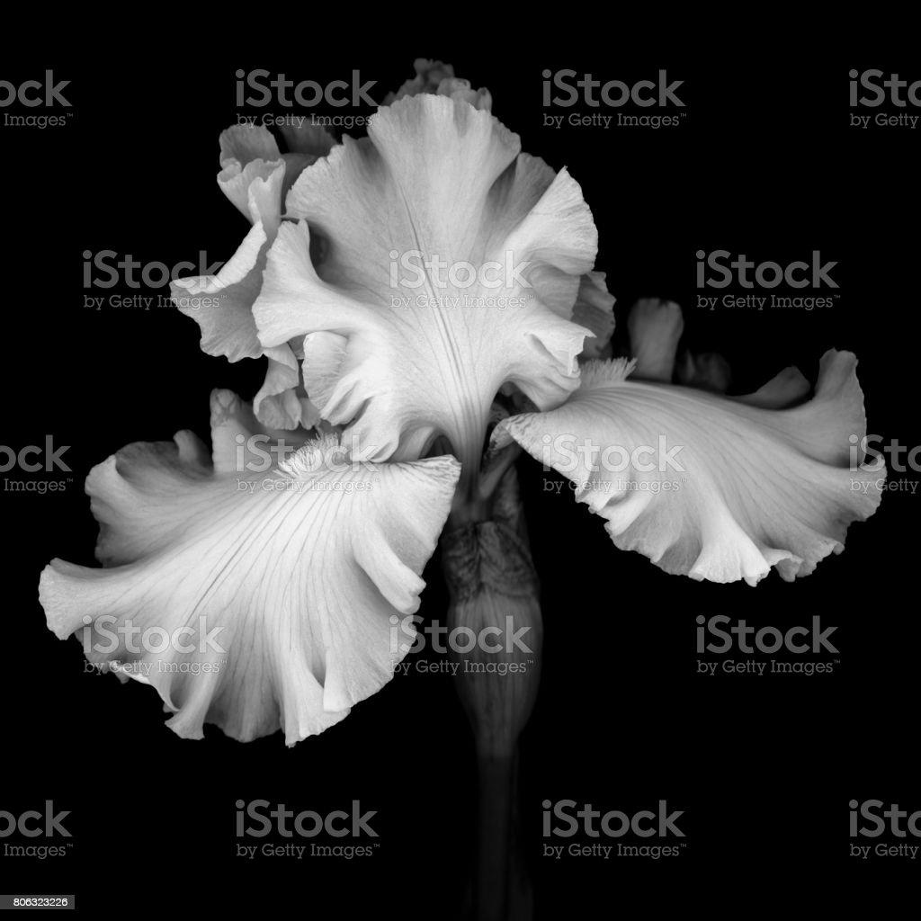 Monochrome white Iris isolated against a black background stock photo