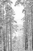 monochrome Winter landscape - trees and snow