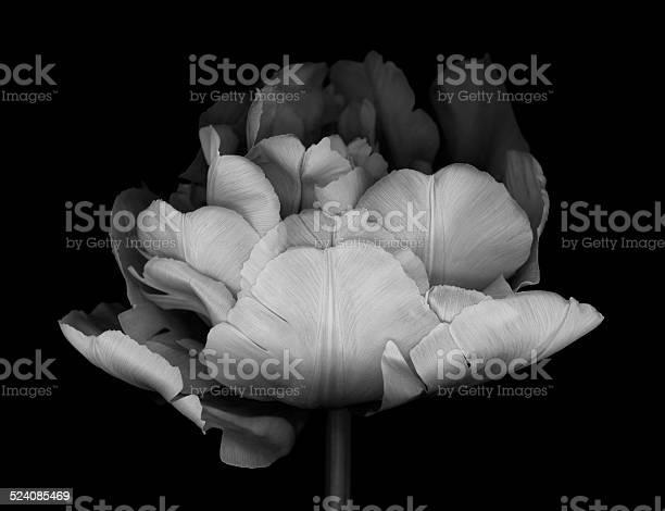 Monocrhome double tulip picture id524085469?b=1&k=6&m=524085469&s=612x612&h= rywfrf8jsjlmex4hjgu9qibzeztms4dmdrqer28qk4=