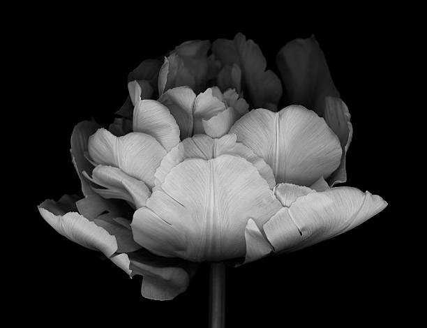 XXXL: Monocrhome Double Tulip A monochrome double tulip isolated on a black background. monochrome stock pictures, royalty-free photos & images