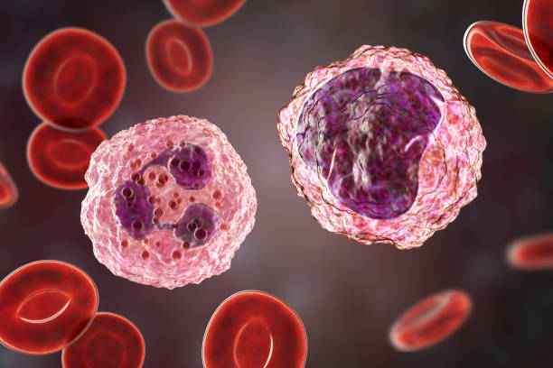 Monocyte and neutrophil surrounded by red blood cells stock photo