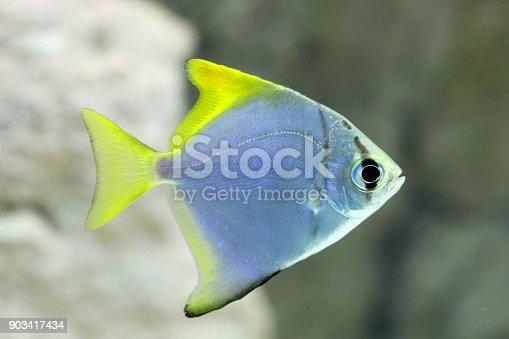 Monodactylus argenteus. Silver fish-swallow closeup