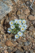 istock Monoptilon bellioides, the desert star, also called Mojave desertstar is found in Joshua Tree National Park, California 1254162511