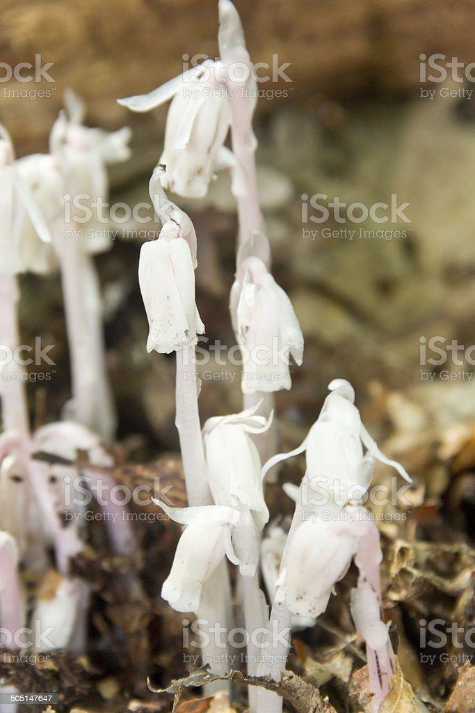 Monotropa Uniflora stock photo