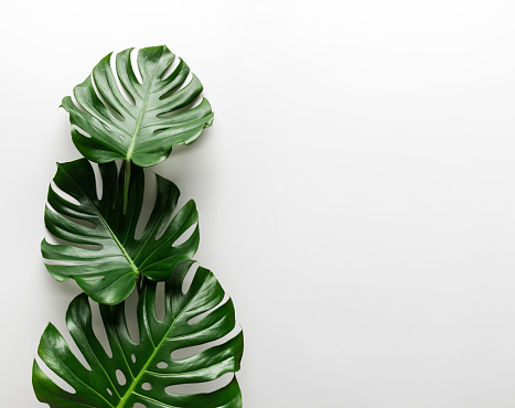 Creative arrangement of tropical monstera leaves against white abstract wall background