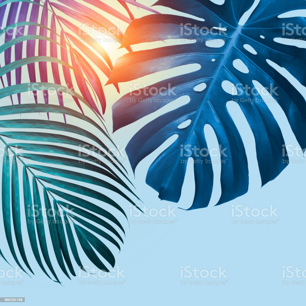 Monstera Deliciosa And Yellow Palm Tropical Leaves On Blue Background With Sunlight Minimal Summer Stock Photo Download Image Now Istock Yellow tropical flowers and monster leaves dark blue background. https www istockphoto com photo monstera deliciosa and yellow palm tropical leaves on blue background with sunlight gm960294198 262240739