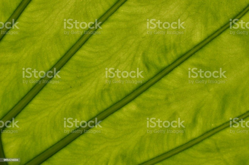 Monstera deliciosa leaf closeup royalty-free stock photo