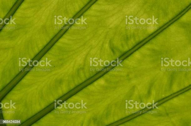 Monstera Deliciosa 잎 근접 촬영 0명에 대한 스톡 사진 및 기타 이미지