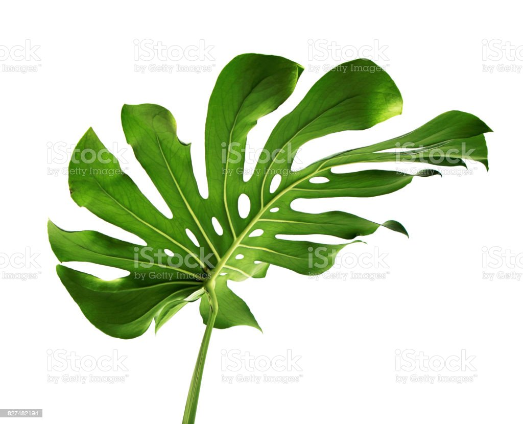 Monstera deliciosa leaf or Swiss cheese plant, isolated on white background with clipping path stock photo