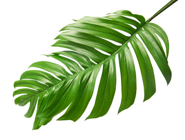 Monstera deliciosa leaf or Swiss cheese plant, isolated on white background, with clipping path stock photo