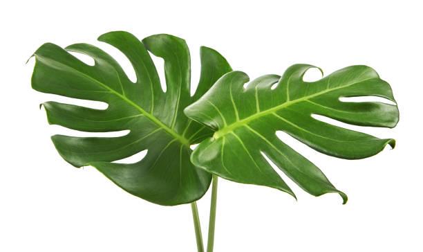 folha de monstera deliciosa ou swiss cheese planta, isolada no fundo branco, com traçado de recorte - monstera - fotografias e filmes do acervo
