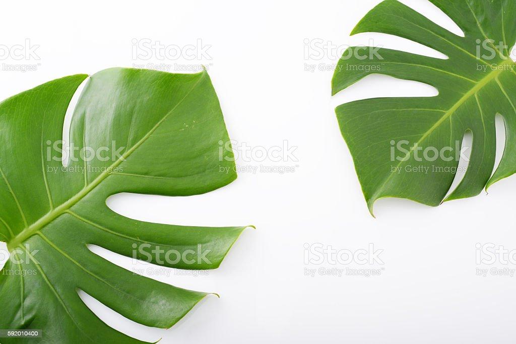 Monstera deliciosa leaves stock photo