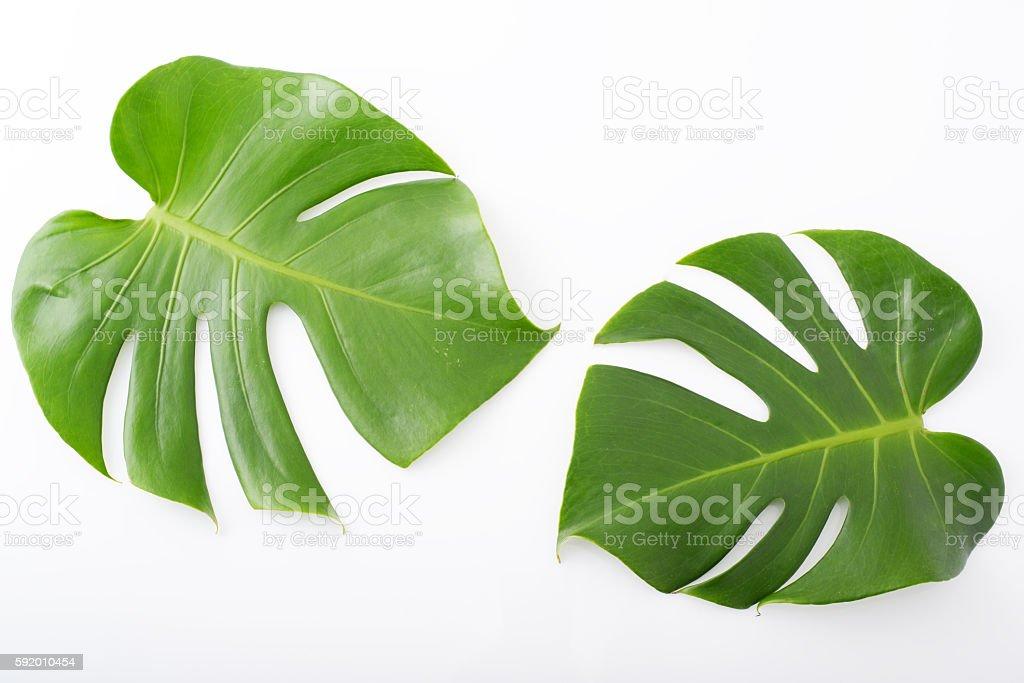 Monstera deliciosa leaves - foto de acervo