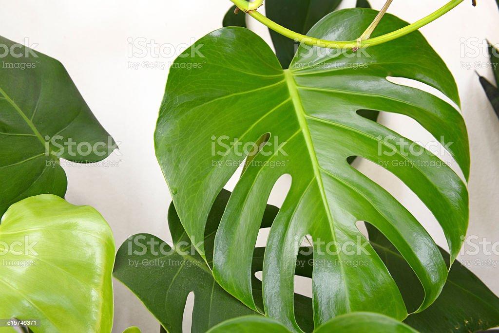 Monstera deliciosa, split leaf Philadendron houseplant stock photo