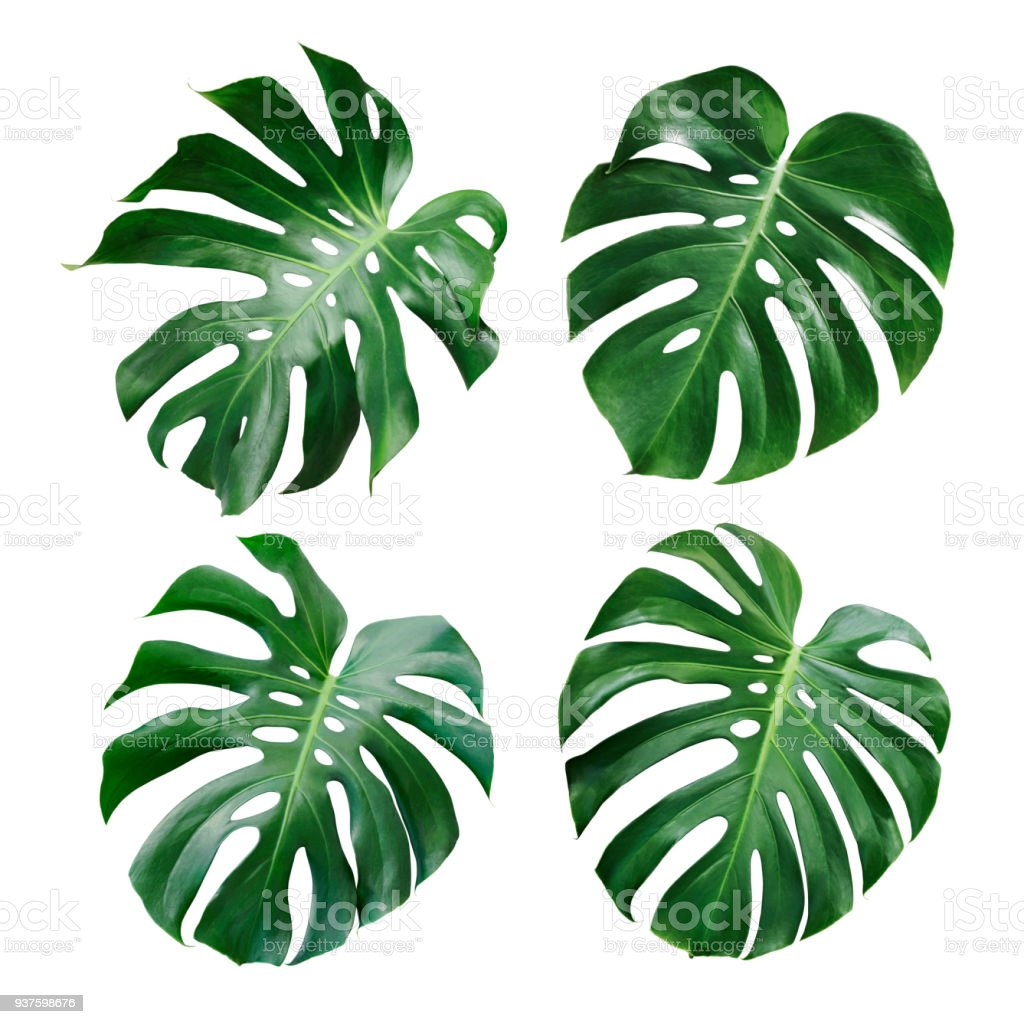 Monstera Deliciosa Tropical Leaf Isolated On White Background Stock Photo Download Image Now Istock Monstera is native to tropical rainforests from southern mexico to panama so it comes as no water weekly or when it's looking dry, and polish leaves with a damp cloth to remove dust in order to. monstera deliciosa tropical leaf isolated on white background stock photo download image now istock