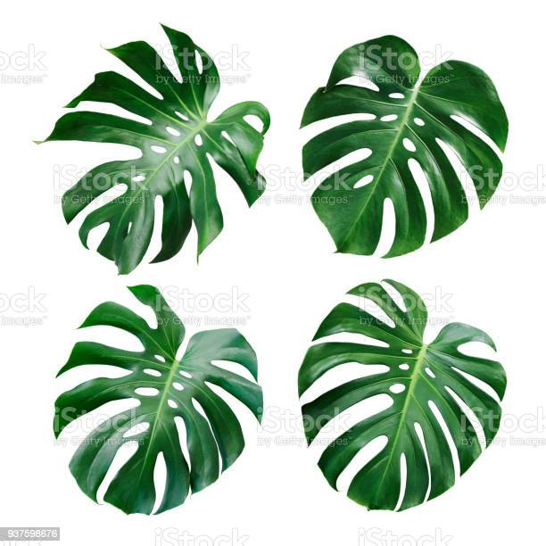 Monstera deliciosa tropical leaf isolated on white background picture id937598676?b=1&k=6&m=937598676&s=612x612&h=ozrtzxolypprwjj621izjn8wy1wsftpfccphifg58uy=