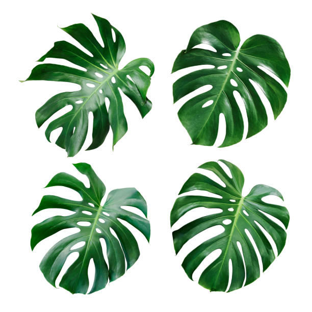 monstera deliciosa tropical leaf isolated on white background - leaving stock photos and pictures