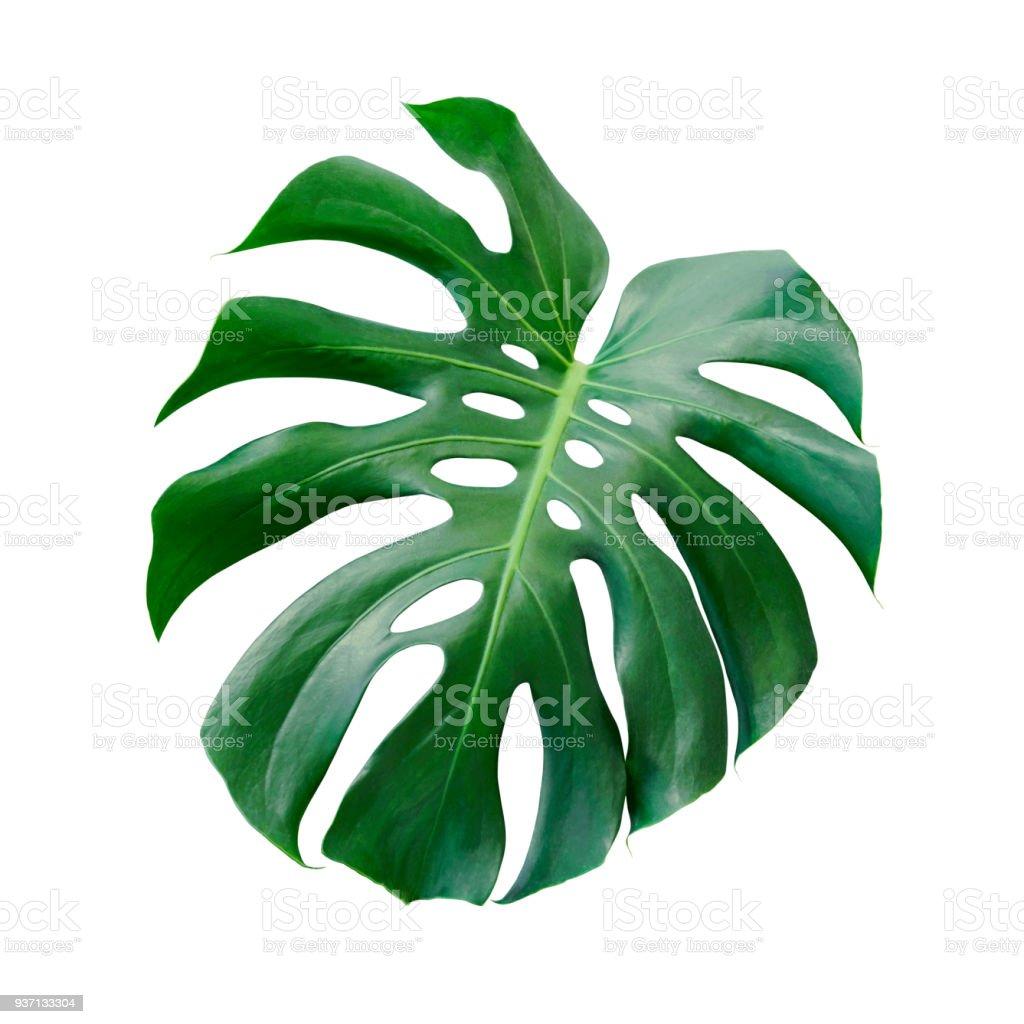 Monstera Deliciosa tropischen Blatt isoliert auf weißem Hintergrund mit Beschneidungspfad – Foto