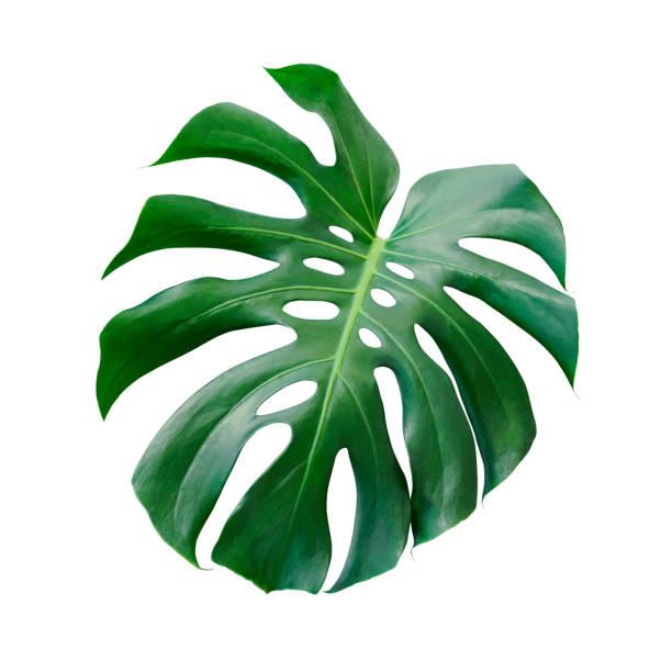 monstera deliciosa feuille tropique isolé sur fond blanc avec un tracé de détourage - motif tropical photos et images de collection