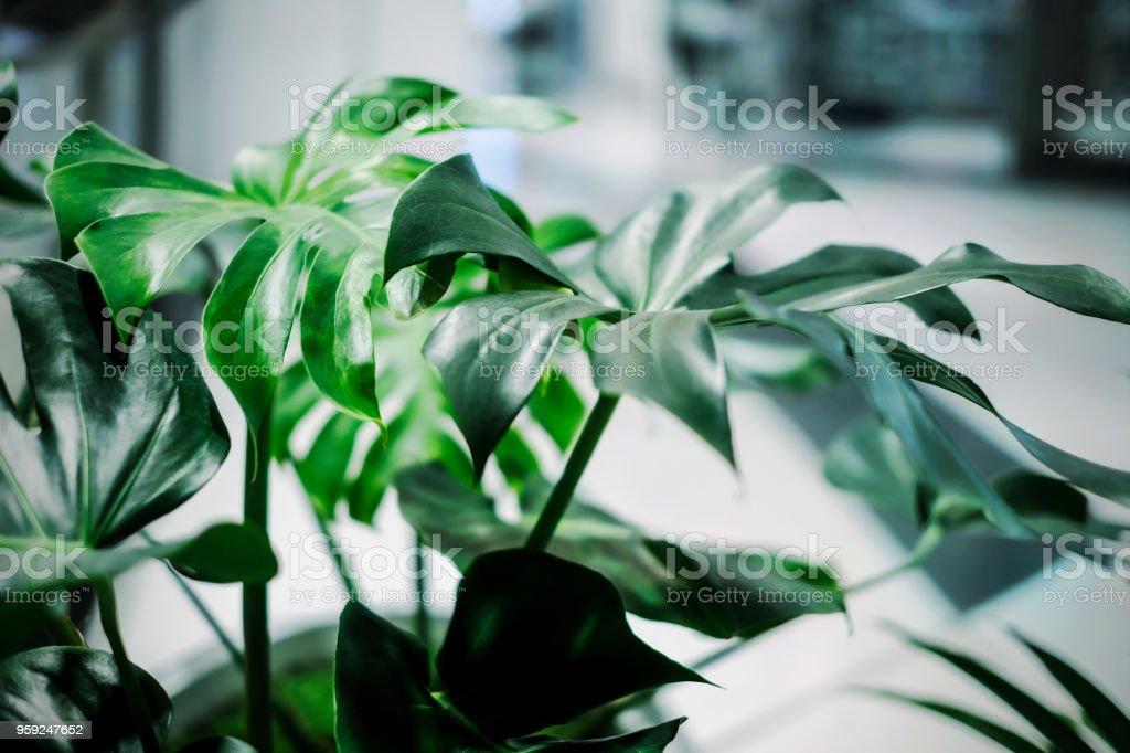 Monstera Deliciosa tropische Blätter im Bürogebäude – Foto