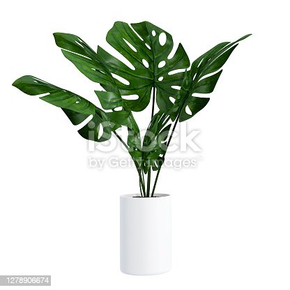 istock Monstera in a pot isolated on white background, Close up of tropical leaves or houseplant that grow indoor for decorative purpose. 1278906674