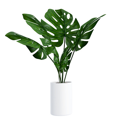 Monstera in a pot isolated on white background, Close up of tropical leaves or houseplant that grow indoor for decorative purpose.