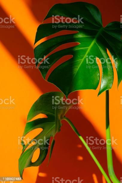 Monstera in the sun beautiful combination of colors green and orange picture id1165407483?b=1&k=6&m=1165407483&s=612x612&h=dr7qvqgrnymu5ehaqcphu82ruuwgn2apog50x5b8ahs=