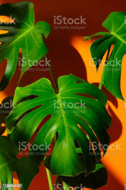 Monstera in the sun beautiful combination of colors green and orange picture id1166004167?b=1&k=6&m=1166004167&s=612x612&h=7jl96hrvwfms0msla cnisq1 1mxxpykpol7s9eomvm=