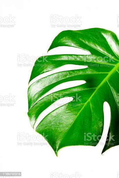 Monstera in the sun beautiful combination of colors green and white picture id1169732015?b=1&k=6&m=1169732015&s=612x612&h=bvxzoxvznoqtjyvha2qstqcwz8ux xohvzyancoupkm=